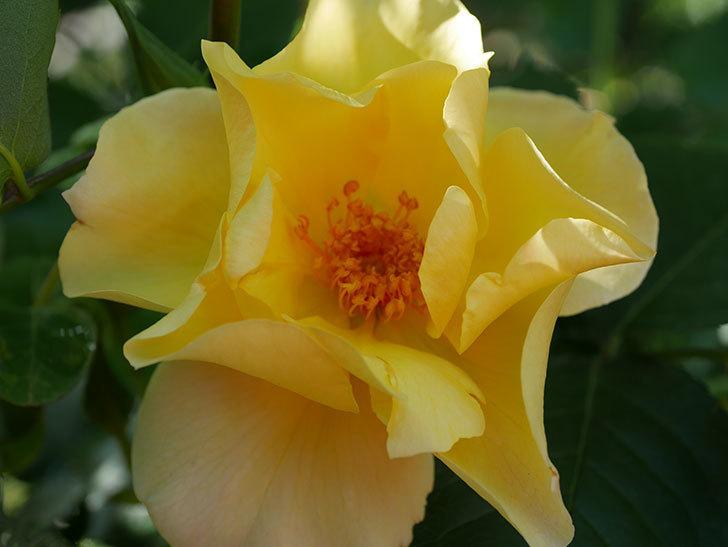 サプライズ(Surprise)の花が咲いた。木立バラ。2021年-017.jpg