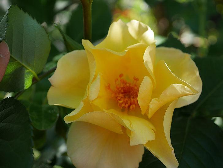 サプライズ(Surprise)の花が咲いた。木立バラ。2021年-018.jpg