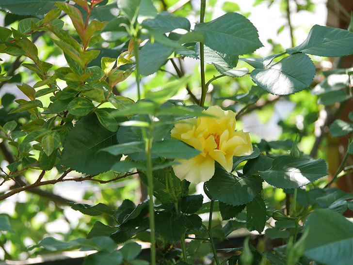サプライズ(Surprise)の花が咲いた。木立バラ。2021年-020.jpg
