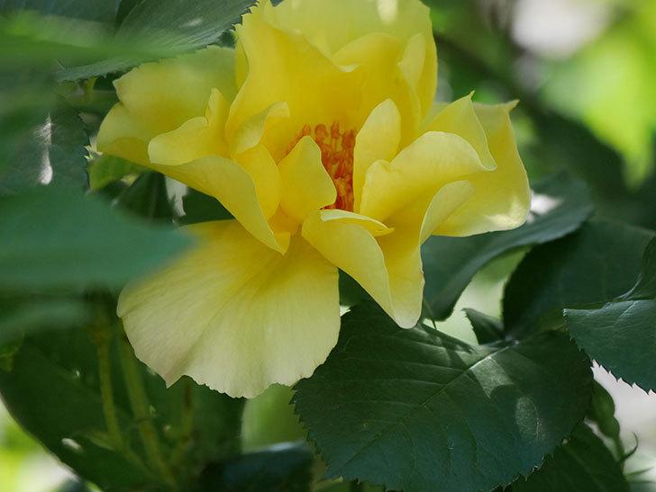 サプライズ(Surprise)の花が咲いた。木立バラ。2021年-022.jpg