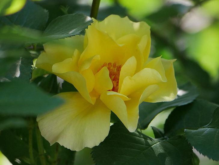 サプライズ(Surprise)の花が咲いた。木立バラ。2021年-023.jpg