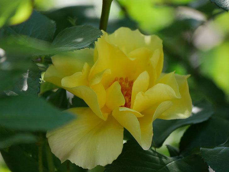 サプライズ(Surprise)の花が咲いた。木立バラ。2021年-024.jpg