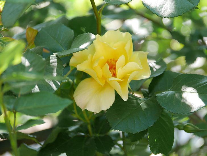 サプライズ(Surprise)の花が咲いた。木立バラ。2021年-025.jpg
