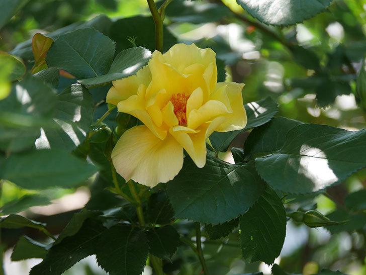 サプライズ(Surprise)の花が咲いた。木立バラ。2021年-026.jpg