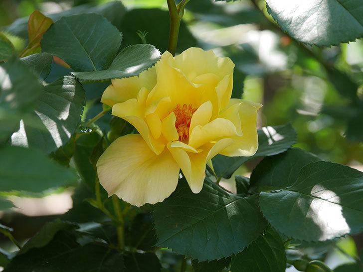 サプライズ(Surprise)の花が咲いた。木立バラ。2021年-027.jpg