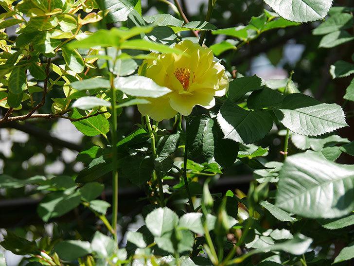 サプライズ(Surprise)の花が咲いた。木立バラ。2021年-028.jpg