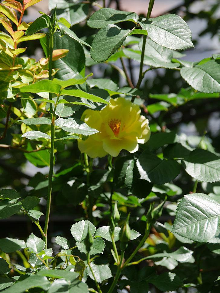 サプライズ(Surprise)の花が咲いた。木立バラ。2021年-029.jpg