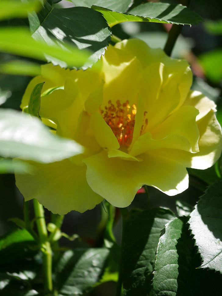 サプライズ(Surprise)の花が咲いた。木立バラ。2021年-030.jpg
