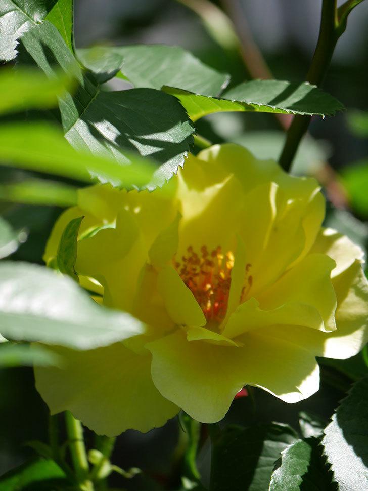サプライズ(Surprise)の花が咲いた。木立バラ。2021年-031.jpg