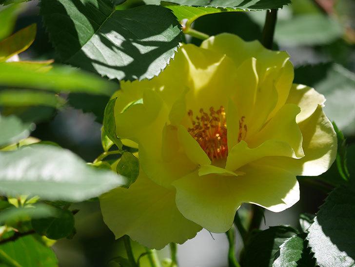 サプライズ(Surprise)の花が咲いた。木立バラ。2021年-032.jpg