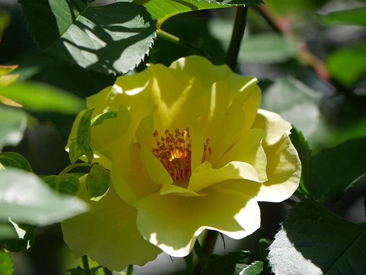 サプライズ(Surprise)の花が咲いた。木立バラ。2021年-033.jpg