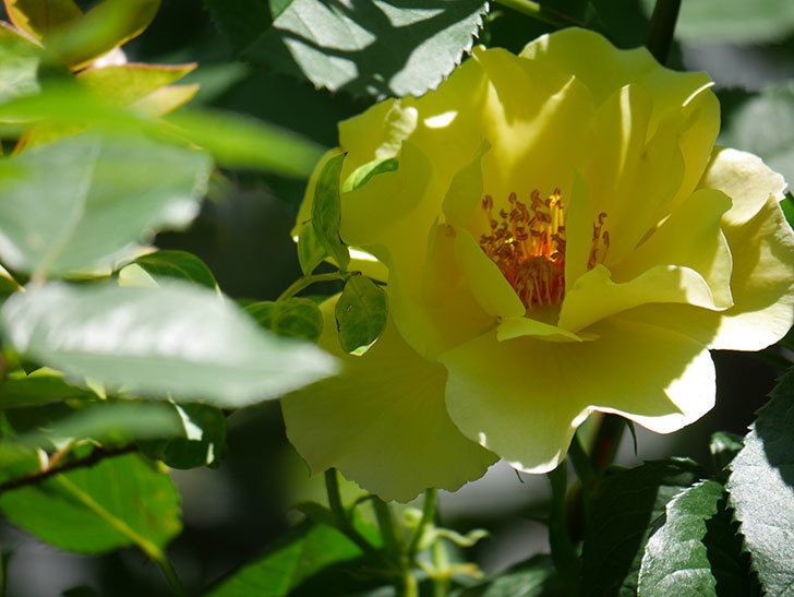サプライズ(Surprise)の花が咲いた。木立バラ。2021年-034.jpg