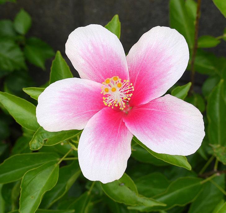 サマーブリーズ-カシミアウィンドがまた2個咲いた。2016年-9.jpg