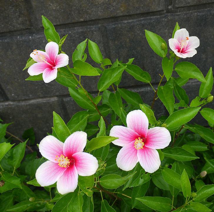 サマーブリーズ-カシミアウィンドが久々に3個同時に咲いた。2016年-10.jpg