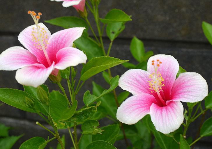 サマーブリーズ-カシミアウィンドが久々に3個同時に咲いた。2016年-11.jpg