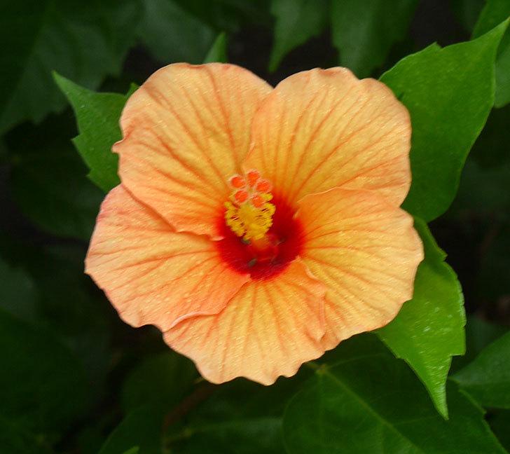 サマーブリーズ-カシミアウィンドが久々に3個同時に咲いた。2016年-12.jpg