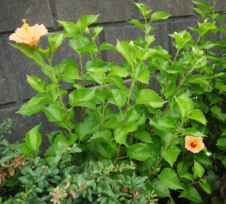 サマーブリーズ-カシミアウィンドが久々に3個同時に咲いた。2016年-13.jpg
