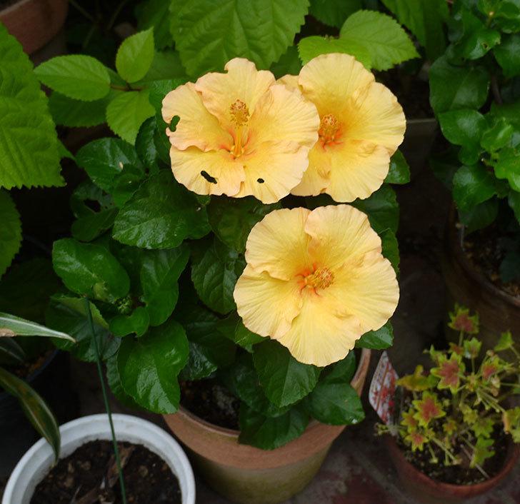 サマーブリーズ-カシミアウィンドが久々に3個同時に咲いた。2016年-2.jpg