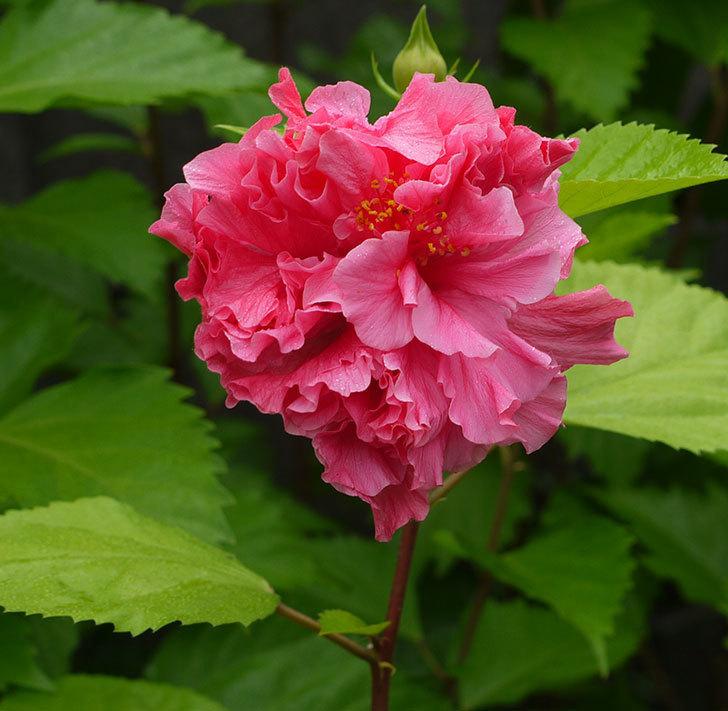 サマーブリーズ-カシミアウィンドが久々に3個同時に咲いた。2016年-7.jpg