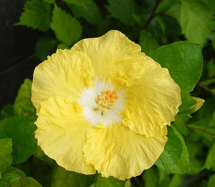 サマーブリーズ-カシミアウィンドが久々に3個同時に咲いた。2016年-8.jpg