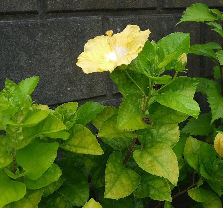 サマーブリーズ-カシミアウィンドが久々に3個同時に咲いた。2016年-9.jpg
