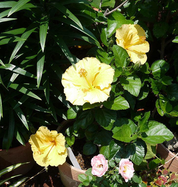サマーブリーズ-カシミアウィンドの花が3個咲いた。2017年-1.jpg