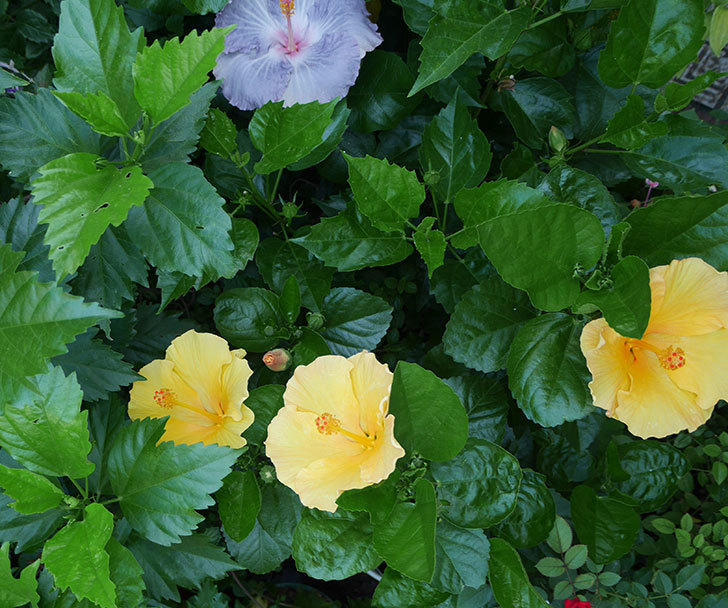 サマーブリーズ-カシミアウィンドの花が3個咲いた。2018年-1.jpg