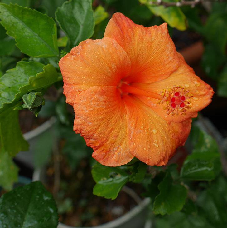 サマーブリーズ-カロライナブリーズに今年最初の花が咲いた。2019年-1.jpg