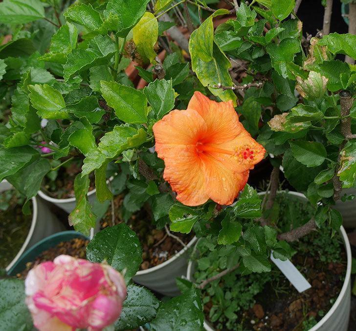 サマーブリーズ-カロライナブリーズに今年最初の花が咲いた。2019年-2.jpg