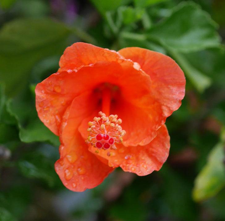 サマーブリーズ-カロライナブリーズに今年最初の花が咲いた。2019年-5.jpg