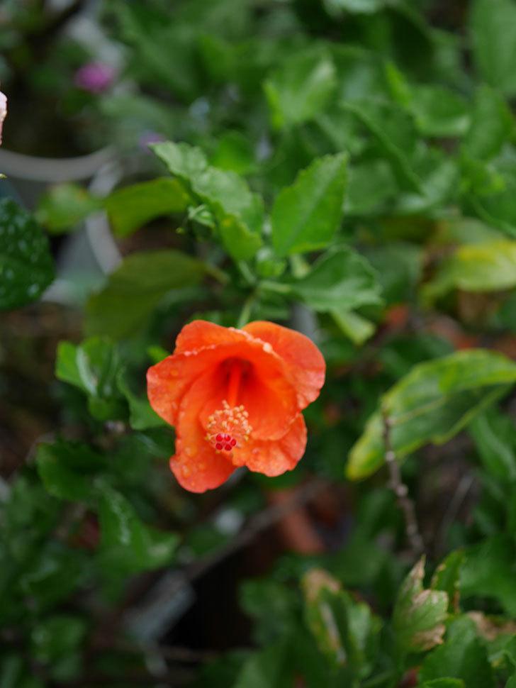 サマーブリーズ-カロライナブリーズに今年最初の花が咲いた。2019年-6.jpg