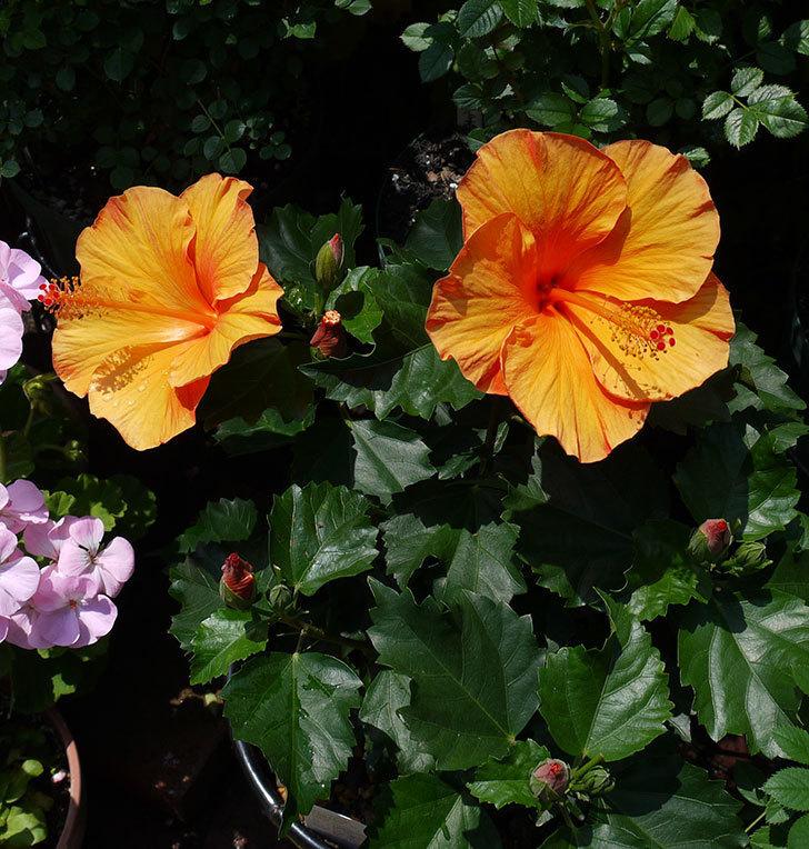 サマーブリーズ-カロライナブリーズの花が2個咲いた。2017年-1.jpg