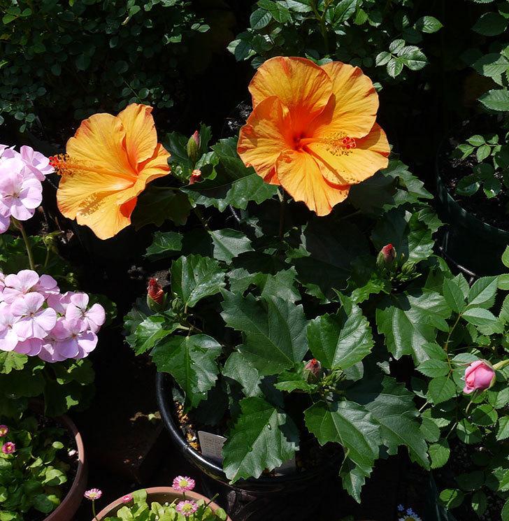 サマーブリーズ-カロライナブリーズの花が2個咲いた。2017年-3.jpg