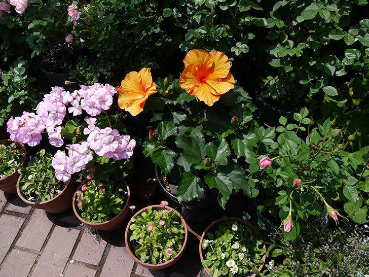 サマーブリーズ-カロライナブリーズの花が2個咲いた。2017年-6.jpg