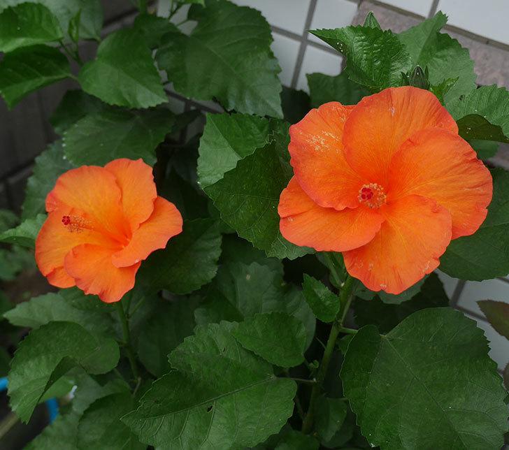 サマーブリーズ-カロライナブリーズの花が2個咲いた。2018年-1.jpg