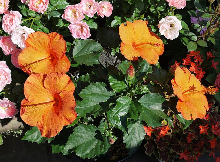 サマーブリーズ-カロライナブリーズの花が4個咲いた。2017年-1.jpg