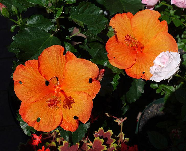 サマーブリーズ-カロライナブリーズの花が4個咲いた。2017年-9.jpg