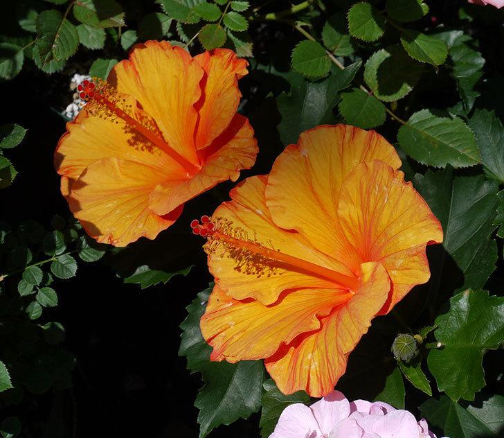 サマーブリーズ-カロライナブリーズの花が今日も2個咲いた。2017年-1.jpg