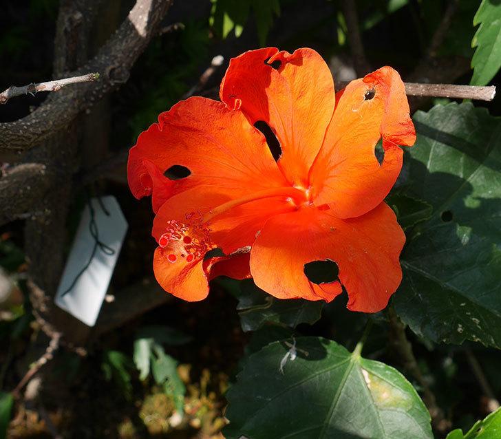 サマーブリーズ-カロライナブリーズの花が咲いた。2018年-1.jpg