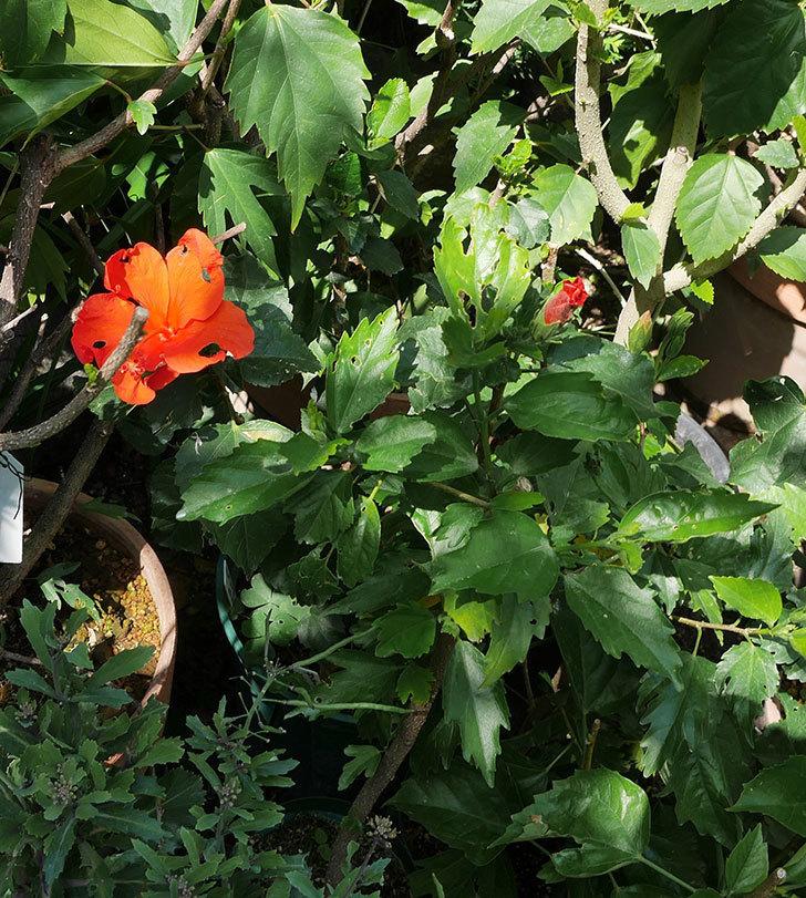 サマーブリーズ-カロライナブリーズの花が咲いた。2018年-2.jpg