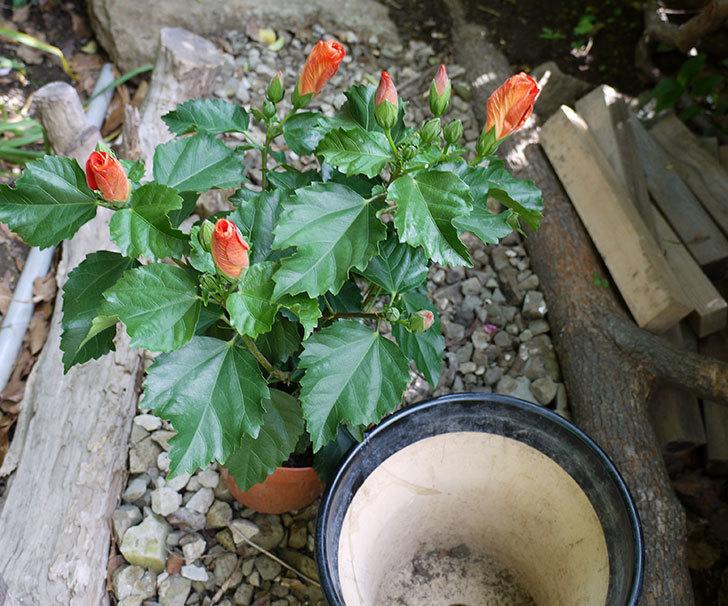 サマーブリーズ-カロライナブリーズを鉢に植えた。2017年-2.jpg