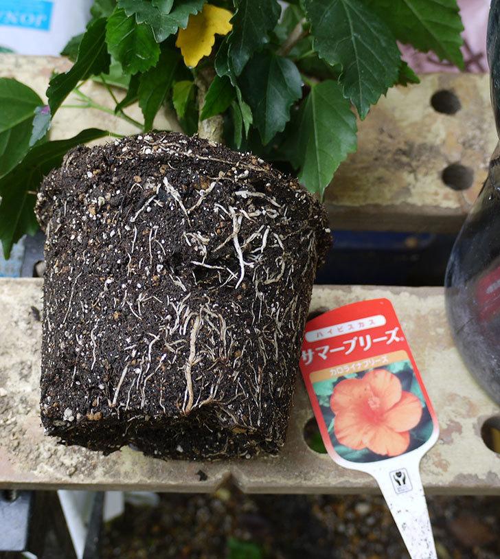 サマーブリーズ-カロライナブリーズを鉢に植えた。2017年-3.jpg