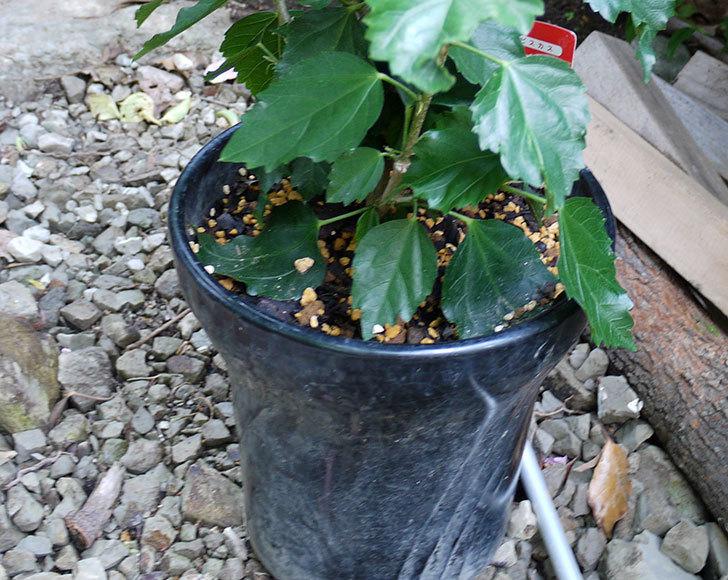 サマーブリーズ-カロライナブリーズを鉢に植えた。2017年-6.jpg