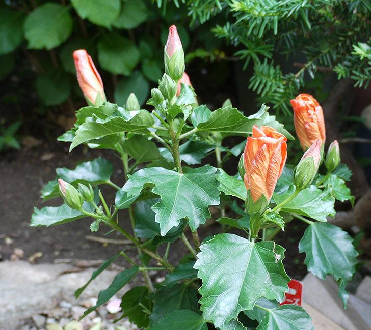 サマーブリーズ-カロライナブリーズを鉢に植えた。2017年-7.jpg