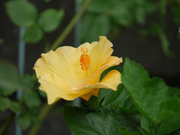 サマーブリーズ カシミアウィンドに今年最初の花が咲いた。2020年-002.jpg