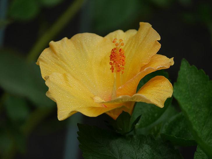 サマーブリーズ カシミアウィンドに今年最初の花が咲いた。2020年-004.jpg