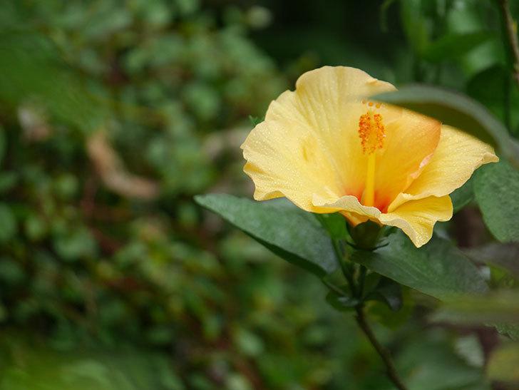 サマーブリーズ カシミアウィンドに今年最初の花が咲いた。2020年-005.jpg