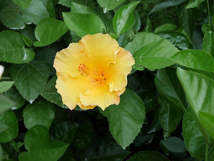サマーブリーズ カシミアウィンドの花が2個咲いた。2020年-001.jpg