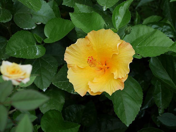 サマーブリーズ カシミアウィンドの花が2個咲いた。2020年-002.jpg