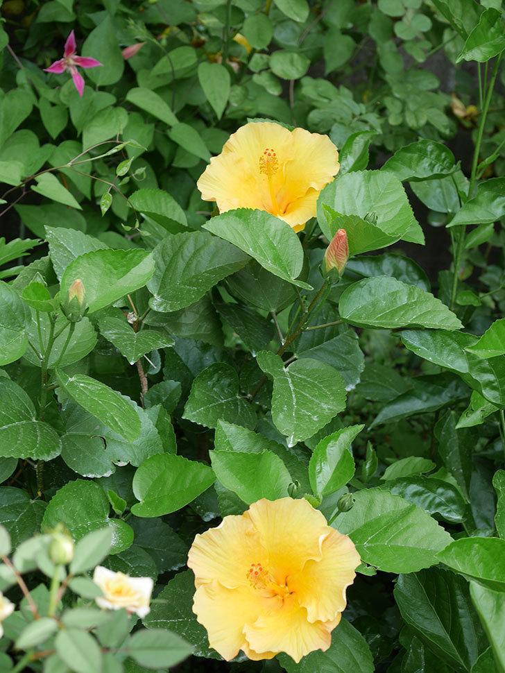 サマーブリーズ カシミアウィンドの花が2個咲いた。2020年-005.jpg